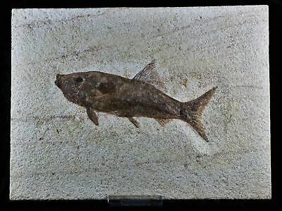 Xl Rare Rhacolepis Buccalis Fossil Fish Specimen 7 Inches Long 108 Million Yrs