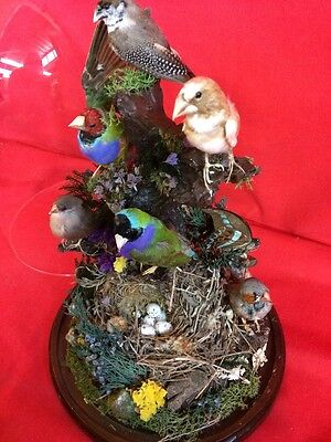 SALE*Taxidermy Antique Victorian Style 6 Finch Large Glass Dome Display/bird