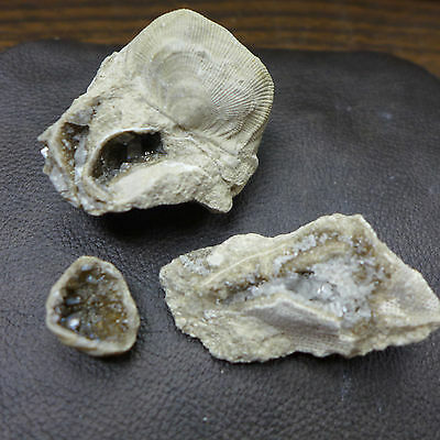 GEOLOGICAL ENTERPRISES Three fossil with Crystals Brachiopod and Bivalve