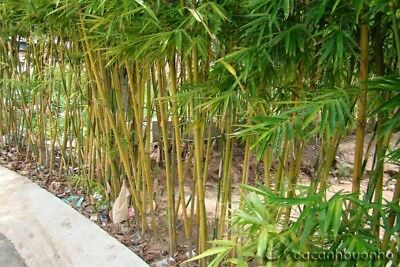 HOT off months !!-100pcs/bag Moso Bamboo seeds,Cultivating very easy