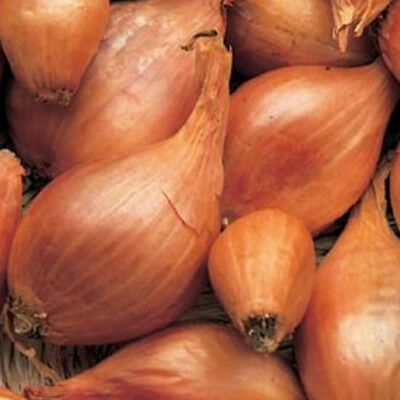 "V293FR Shallot ""Roderique"" x100 seeds, Fresh New Season Non-GMO"