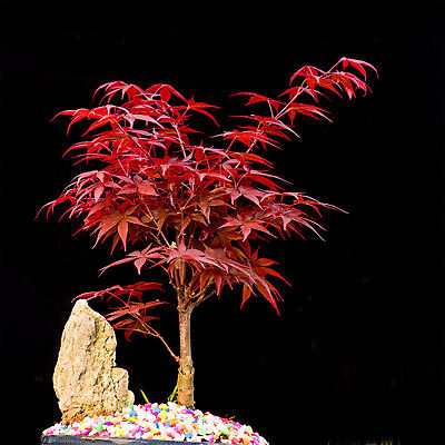 10Pcs Japanese Maple Tree Acer Palmatum Red Maple Seeds Beautiful Ornamental GUT