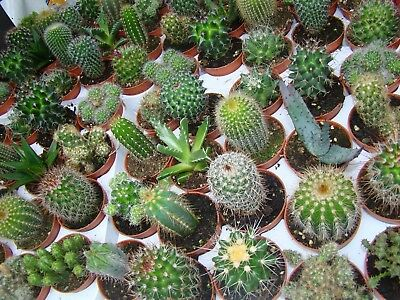 10 x Different Cacti Succulent Collection House Plant