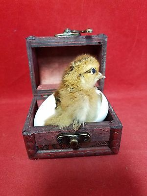 SAlE *Taxidermy Chick/Chicken Trunk/kitchen-farm-country decor-Easter-kitchen