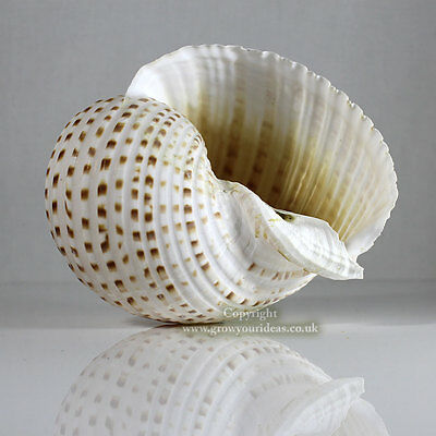 Tonna Spotted Extra Large 10 to 12 cm Sea shell for aquarium or crafts