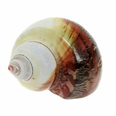 Turbo Pethoratus Green & White  5cm - Polsihed Sea Shells  - Natural Polished Se