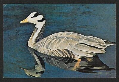 (111cents) Bar - Headed Goose Colored Postcard