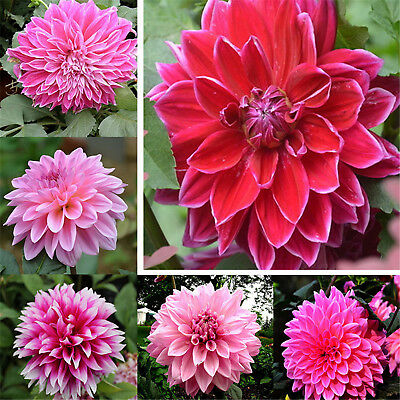 2PCS Colorful Dahlia Large Bloom Flower Perennials Bulbs Garden Tuber Set Best