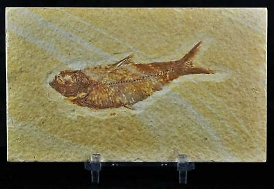 Knightia Eocaena Fossil Fish Green River Wy Eocene Age 3.2 Inches Lg Free Stand