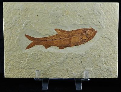 Knightia Eocaena Fossil Fish Green River Wy Eocene Age 3.7 Inches Lg Free Stand