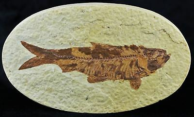 Knightia Eocaena Fossil Fish Green River Wy Eocene Age 3.8 In Long Free Shippin