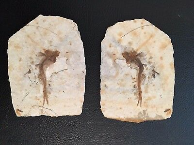 Awesome Matching Pair of Two Museum Quality Lycoptera Fish Fossils