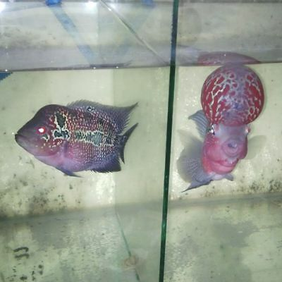 Flowerhorn Fish Selected Fry K-SRD LIVE FLOWERHORN FISH
