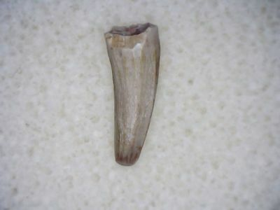 Aetosaur Tooth #01 - Bull Canyon Formation, New Mexico, Triassic Fossil