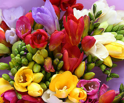 Long Stemmed Fresh Freesias from Guernsey - 30 stems of fresh flowers