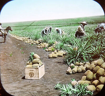 1904 Jamaica Harvest Huge Field of Pineapples Overseer on Horse Lantern Slide
