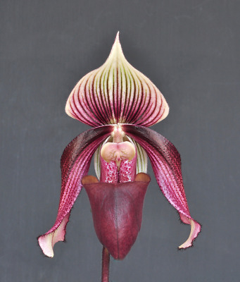 Slipper Orchid Paphiopedilum curtisii