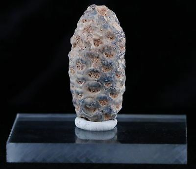 Fossilized Pine Cone Replaced By Agate 45 Million Yrs Ago Morocco Seeds 1.4 Inch