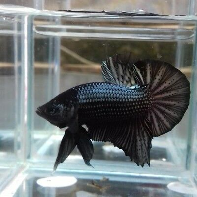 AAA+ Grade HMPK Black Cooper LIVE BETTA FISH