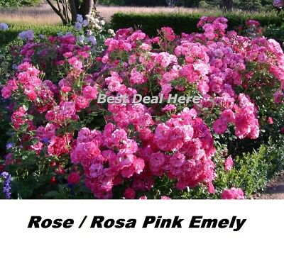 Rose Rosa Pink Emely 15 Seed Hardy Fast Fragrant Received Label ADR