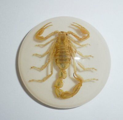 Insect Cabochon Golden Scorpion Specimen 35 mm Round on White 1 piece Lot