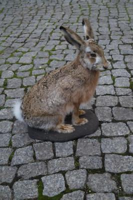 HARE TAXIDERMY, Life size taxidermy taxidermie