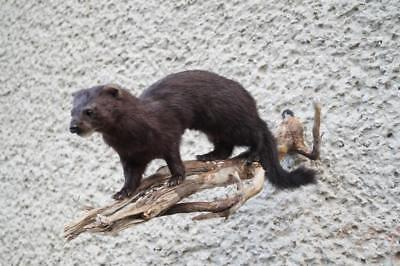mink taxidermy mount  For Sale