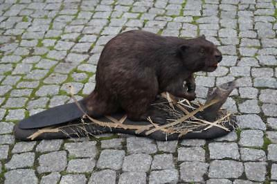 American Beaver Taxidermy Mount For Sale