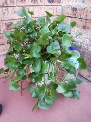 a bunch of Centella asiatica / Gotu Kola Plants / Edible MEDICINAL Herb plants