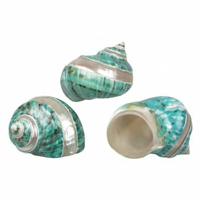 Large  Banded Turbo Borghese  Green - sea Shells - Mother of Pearl - Natural Pol