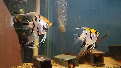 Breeding pair of angelfish Tropical fish