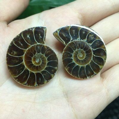 2 x Natural Ammonite Fossil Specimen Shell Decorative Conch Fossil 20mm 50mm LP