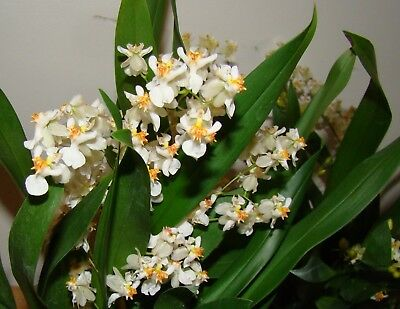 Oncidium Twinkle White Miniature Fragrant Orchid 9cm Pot