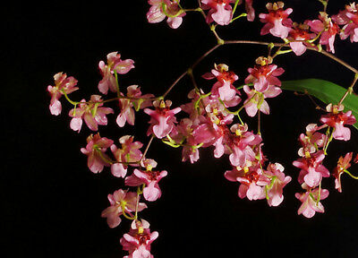 Oncidium Twinkle 'Red' Miniature Fragrant Orchid 9cm Pot