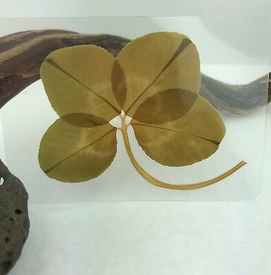 Real Genuine Four 4 Leaf Clover Laminated Lucky Charm ** Cream Of The Crop **