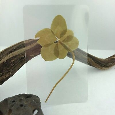 Real Genuine Six 6 Leaf Clover Laminated Lucky Charm Gift Bookmark Purse Wallet