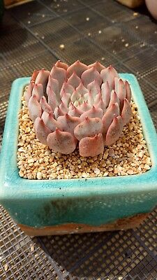 Echeveria Mexensis 'Zaragosa' Pink in 90mm pot Succulent Plants