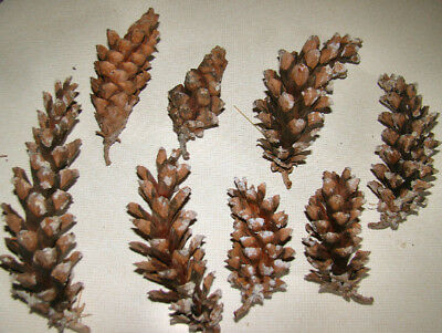 """75 - """"PERSONALITY"""" Fresh WHITE PINE Cones REAL - Crafts- Christmas- Fire Starter"""
