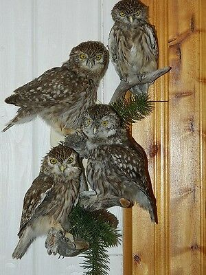 SALE  Very Rare Little owls Taxidermy Bird Mounts Antlers  Harry Potter Owl