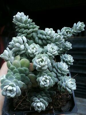 Sedum Cape Blanco Grey Blob