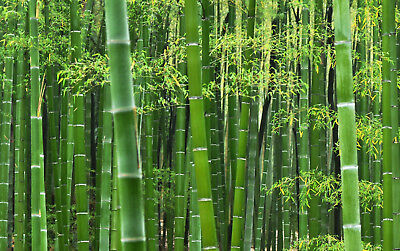 Moso Bamboo Seeds,Phyllostachys pubescens,Bamboo Seeds, direktimport from China