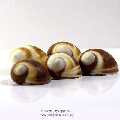 5 x  Moon Shell Elephant's Foot Sea Shell 4-5cm