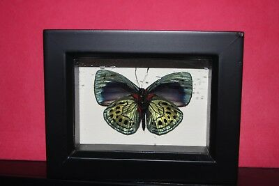 Charles Darwin Real Mounted Butterfly Under Glass,Framed Butterfly