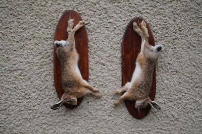 Hanging Hare Life Size Taxidermy Stuffed Mount Präparat Taxidermie