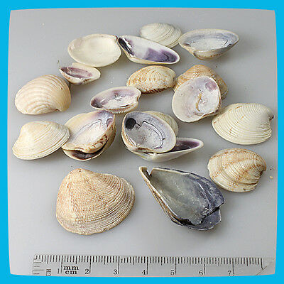 antique 19pcs Beige Yellow White Brown Natural Shells Seashells Scallope Clam