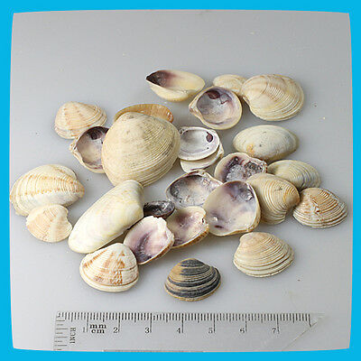 antique 25pcs Beige Yellow White Brown Natural Shells Seashells Scallope Clam