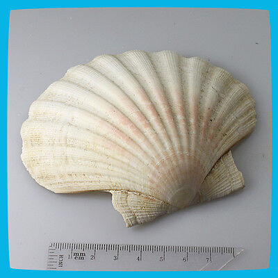 antique huge Beige White Pink Natural Shell Seashell Cockle Clam