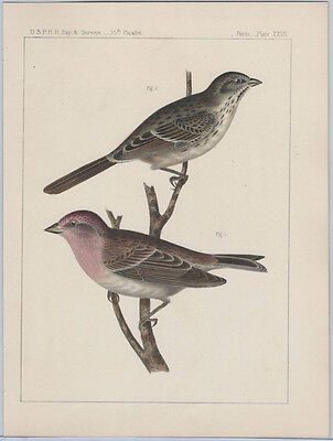 1855 Chromolithograph of Song Sparrow - the Pacific Railroad Survey