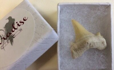Boxed Shark Teeth Fossil - high quality fossil- Paradise Crow Discovery