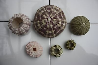 Wonderful Sea Urchin Collection -  6 x Unique Urchins -  Sea Life Taxidermy - Sp